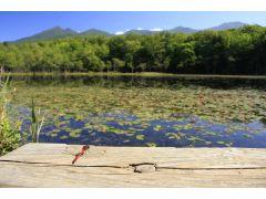 知床五湖:湖のほとり、知床五湖で生きる小さな命。