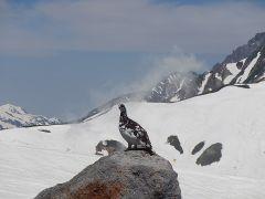 5月から6月にかけて、立山に住む特別天然記念物のライチョウが、ナワバリをつくるため、見張りをしている姿が良く見られます。