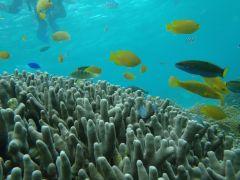 サンゴの森でシュノーケリング