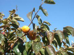 秋の味覚の一つと言えば柿!田主丸は柿も有名です♪