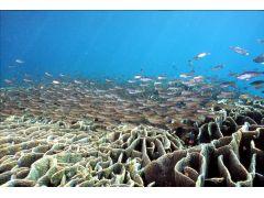 日本最大のシコロサンゴです。