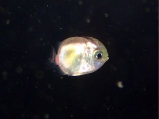 ライトに集まる稚魚