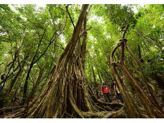 戦前に植えられた巨大なゴムの木