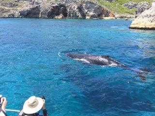 【半日ホエールウォッチングツアー】小笠原の海でクジラを見よう!【冬季限定】