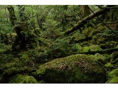 映画「もののけ姫」のモデルとして使われた事で有名な苔むした森。緑に覆われた道を楽しく歩きます。