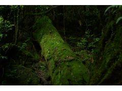 苔むした倒木。 いったいどれだけ昔に倒れたかもわからないほど苔に覆われてしまっています。 長い時間を感じさせられます。