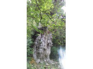 縄文杉です