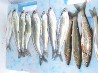 青木湖のウグイとヒメマス。ヒメマスは釣ったらすぐ食べるのが1番おいしい。