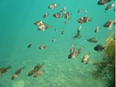 エメラルドグリーンの海にメバルの群れ。