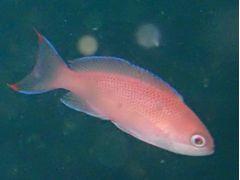 アカオビハナダイの優雅な泳ぎをぜひ生で見てください!