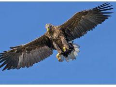 頻繁にトーピラー湾上空を舞う本州最強、最大の猛禽類のイヌワシ。