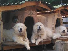 超大型犬に遭遇 (グリランドにいます) 3匹で合計体重200㎏!
