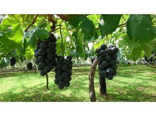 旬を迎えた大粒種なし黒ぶどうをお楽しみください。