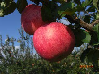 あま ー い りんご