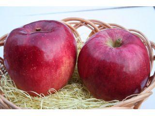 時期ごとに旬のりんごを収穫できます。