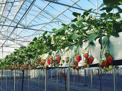 高設栽培で、ちょうどいい高さにイチゴがなってます