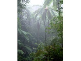 霧に浮かぶメインポイントのヒカゲヘゴ。奄美大島以南に分布する巨大なシダです。
