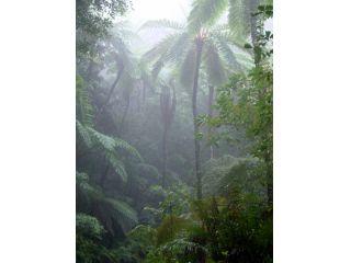 金作原原生林、メインポイントのヒカゲヘゴ