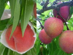 桃+他のフルーツ狩りのセットもございます♪