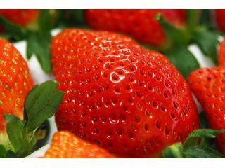 秩父のきれいな空気と水で育った絶品のイチゴをご堪能ください♪