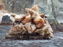 春先は野生のトド遭遇率90%以上