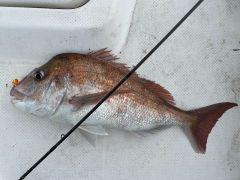 1月14日に釣れた74cmの真鯛。口に付いているのが一つテンヤ、海老をつけます。