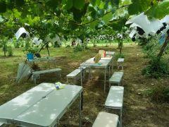 巨峰狩りはブドウ園内でテーブルをご用意して座って食べられます。ご自分でぶどうを収穫して食べるタイプの食べ放題になります。
