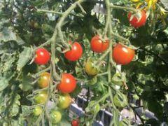 糖度が高く、鮮赤色で美しい光沢のミニトマト。