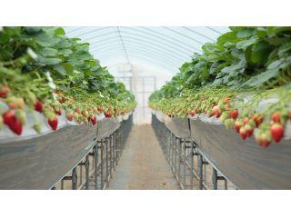 ≪京都・丹後であま〜い!!イチゴ摘み♪≫60分間イチゴ食べ放題プラン♪※コロナ対策実施中※