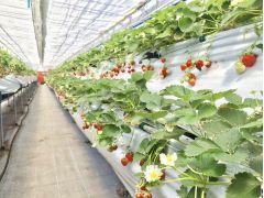 摘み取りが簡単な涼やかな高設栽培です!清潔なビニールハウスなので雨の日のアクティビティにもバッチリ!