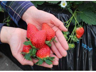 【4月〜GW】あま〜いとちおとめ♪3世代みんなで楽しめるお得で美味しいイチゴ狩り♪