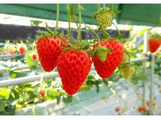 ◆品種◆・ロマンベリー(1月上旬~)・紅ほっぺ(12月下旬~)・あきひめ(1月上旬~)・かおり野(1月上旬~)