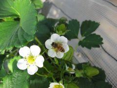 いちごの花の受粉はミツバチたちがやってくれています。ビニールハウスの奥に養蜂箱がおいてあります。