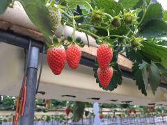 ハウス内では紅ほっぺとあきひめを栽培しています