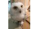 ハリッポッターで人気のシロフクロウの雪麻呂です。ひょうきんものです。