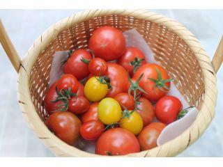 ファミリーでトマト狩り1kgコース1