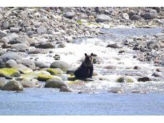 知床は世界有数のヒグマ高密度生息地帯。船上から安全にヒグマを観察することができます☆