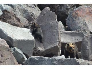 親子で行動するヒグマに会えることもあります!親グマに野生での生き方を学ぶ子グマは、可愛らしい姿が印象的です☆