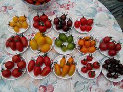 ミニトマトの種類は約20種類