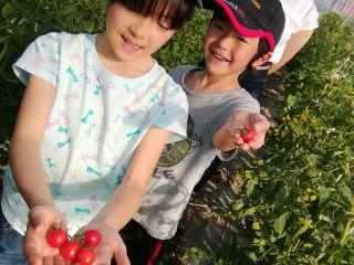真っ赤に完熟したミニトマトを収穫してその場で食べることができます!