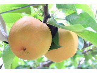 みずみずしい自慢の梨をぜひお楽しみください♪