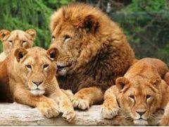 群馬サファリパーク 迫力ある!ライオン