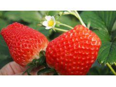 香りが高く、とってもジューシー!甘くて美味しい、大きなイチゴが食べ放題!提携いちご農園までは、お車で15分程。