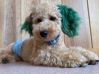 犬カフェのおもてなしスタッフの「ココア」くんです明るく元気な男の子です