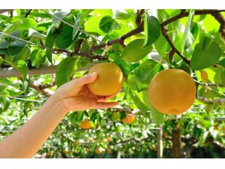 梨狩り体験してみませんか?茨城県かすみがうら市でお待ちしております!