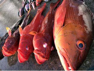 グルクンの泳がせ釣りで大物のアカジンが釣れました!