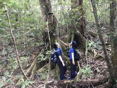 見上げるオキナワウラジロガシの巨木。