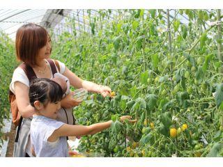 ミニトマトの収穫体験はご家族やお友達と楽しめます。