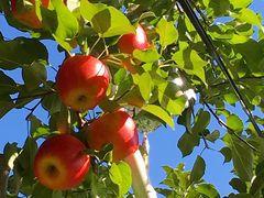 ☆美味しいりんごがいっぱいです☆