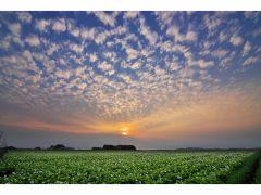 ジャガイモ畑のうろこ雲